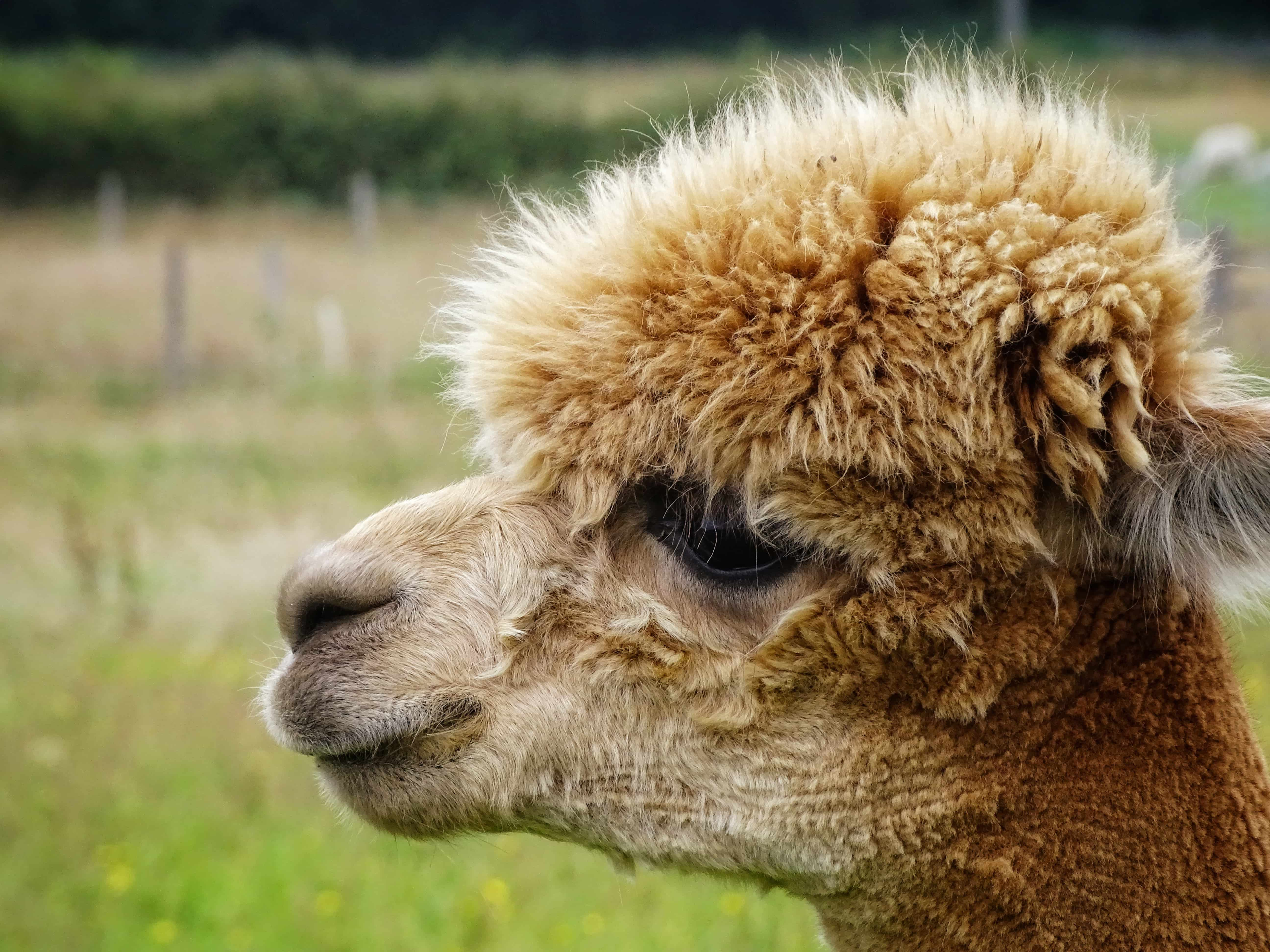 How do you tell the difference between an Alpaca and a Llama? By Laura Rowan - Derby Days Out